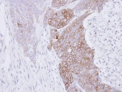 Immunohistochemistry (Formalin/PFA-fixed paraffin-embedded sections) - Anti-Rab3C antibody (ab96360)