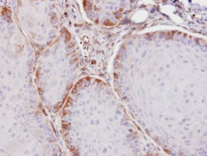 Immunohistochemistry (Formalin/PFA-fixed paraffin-embedded sections) - Anti-ASS1 antibody (ab96433)