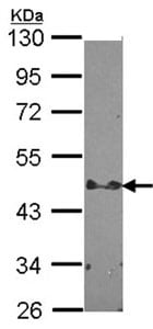 Western blot - Anti-STAP2 antibody (ab96434)