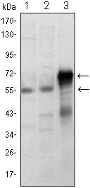 Western blot - Anti-ETS1 antibody [8A8] (ab96478)