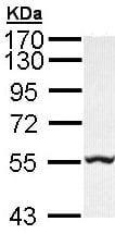 Western blot - Anti-GLYCTK antibody (ab96500)