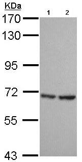 Western blot - Anti-SH3BP1 antibody (ab96523)