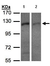 Western blot - Anti-RanBP16 antibody (ab96525)