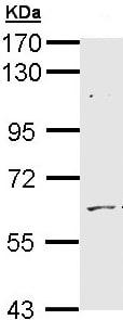 Western blot - Anti-ADCK1 antibody (ab96577)