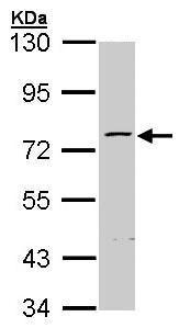 Western blot - Anti-ZNF143 antibody (ab96650)