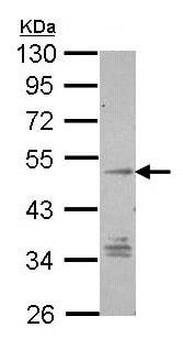 Western blot - Anti-GPCR TM7SF1 antibody (ab96809)