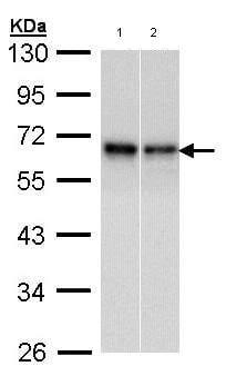Western blot - Anti-Rad9 antibody (ab96862)