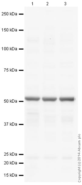 Western blot - Goat Anti-Mouse IgG H&L (HRP) preadsorbed (ab97040)