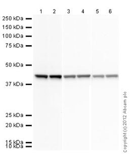 Western blot - Goat Anti-Rabbit IgG H&L (HRP) (ab97051)