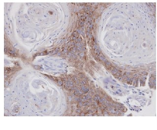 Immunohistochemistry (Formalin/PFA-fixed paraffin-embedded sections) - Anti-Annexin VII antibody (ab97323)