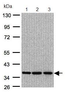 Western blot - Anti-XRCC4 antibody (ab97351)