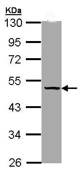 Western blot - Anti-Thyroxine Binding Globulin antibody (ab97435)