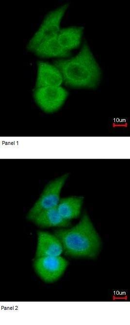 Immunocytochemistry/ Immunofluorescence - Anti-PFKL antibody (ab97443)
