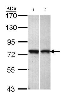 Western blot - Anti-C11orf2 antibody (ab97467)