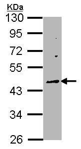 Western blot - Anti-Wnt10a antibody (ab97469)