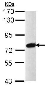 Western blot - Anti-PRPF39 antibody (ab97654)