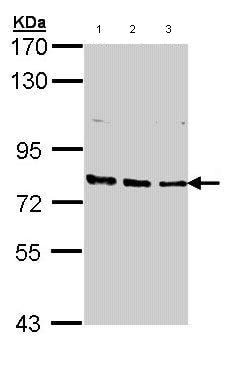 Western blot - Anti-XPB antibody (ab97668)