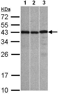 Western blot - Anti-ZC3H8 antibody (ab97821)