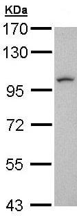 Western blot - Anti-LUZP1 antibody (ab97855)