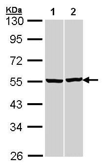 Western blot - Anti-beta Tubulin antibody (ab97872)