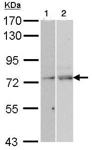 Western blot - Anti-NXF1 antibody (ab97922)