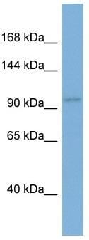 Western blot - Anti-Ago1 antibody (ab98056)