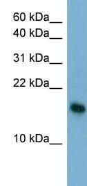 Western blot - Anti-BATF3 antibody (ab98141)