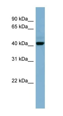Western blot - Anti-OSCP1 antibody (ab98168)