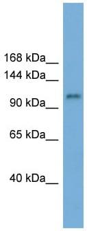 Western blot - Anti-HERC6 antibody (ab99173)