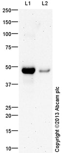 Western blot - Anti-IGF2 antibody (ab99227)