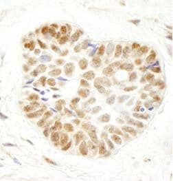 Immunohistochemistry (Formalin/PFA-fixed paraffin-embedded sections) - Anti-WDR79 antibody (ab99260)