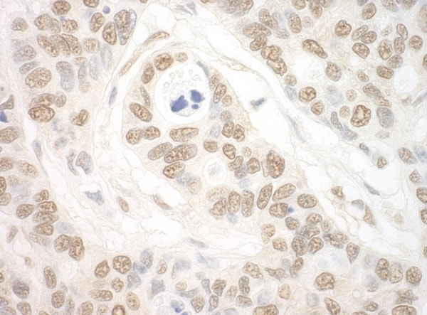 Immunohistochemistry (Formalin/PFA-fixed paraffin-embedded sections) - Anti-Importin 7 antibody (ab99272)