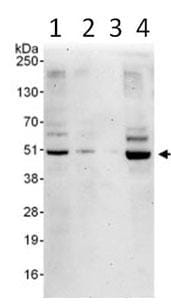 Western blot - Anti-ETS1 associated protein II antibody (ab99279)