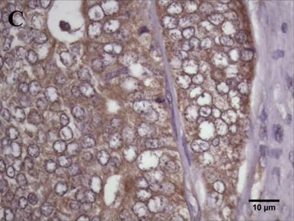 Immunohistochemistry (Formalin/PFA-fixed paraffin-embedded sections) - Anti-Ghrelin O acyltransferase antibody (ab99449)