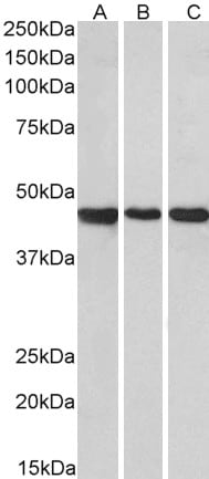 Western blot - Anti-GPR73B antibody (ab99453)