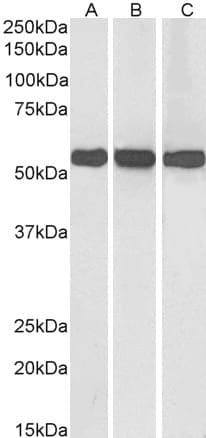 Western blot - Anti-GLUD1 + GLUD2 antibody (ab99470)